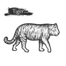 Tiger Sketch, Zoo African And ...