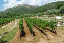 Vineyard, Grape Plantation