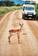 Young Antelope Standing On Road
