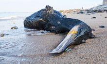 A Big Dead Black Cormorant Sea...