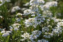 Sweet Alyssum White Flowers Closeup.