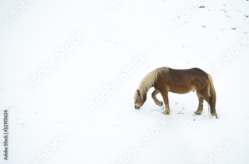 catalan horse of the pyrenees grazing on top of a snowy field on a winter day. Aran valley in the Catalan Pyrenees  Spain