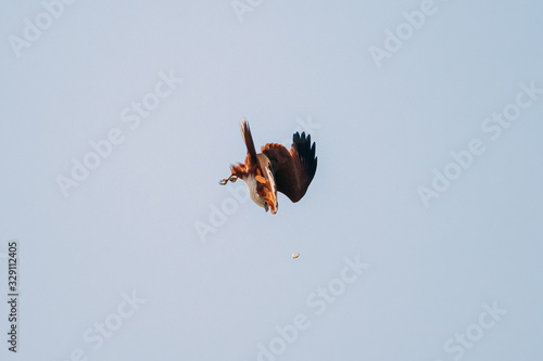 Goa, India. Brahminy Kite Throwing Crab In Flight In Blue Sky Canvas Print