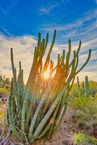 """""""Organ Pipe Cactus Sunset"""" Wallpaper Mural"""