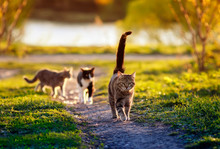 Three Cats Run Along A Green P...