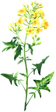 Rape Blossom, Flowering Rapeseed Canola Or Colza, Blooming Brassica Napus Yellow Flower, Plant For Oil Industry And Green Energy. Isolated, Hand Drawn Watercolor Illustration On White Background