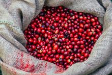 Organic Red Cherries, Coffee Beans In Hemp Sacks, On Green Grass, Coffee Beans, Berries
