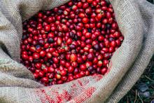 Farmers Picked Fresh Red Coffee Berries From Sacks Of Hemp.