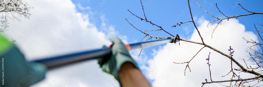 Fototapeta Unrecognizable man pruning fruit trees in his garden. Male gardener using telescopic pruning shears. Springtime gardening web banner.