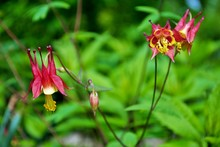 Close Up Of An Aquilegia Canad...