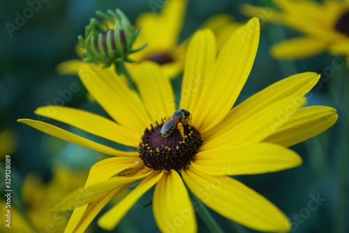 Fotografie, Tablou Close up of a small honey bee on a black eyed susan daisy flower in my backyard