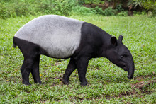 The Malayan Tapir (Tapirus Indicus)