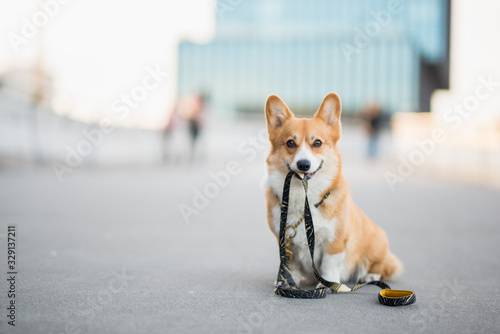 Happy welsh corgi pembroke dog portait holding a leash during a walk in the city center - 329137211