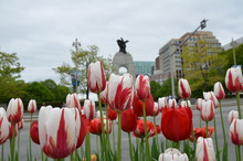Red And White Tulip Flowers And Statue In Ottawa, Canada