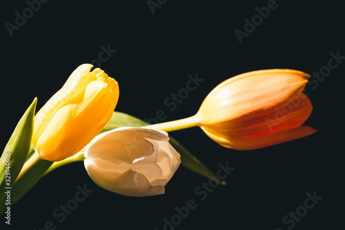 Fototapety, obrazy: Beautiful bouquet of blooming spring tulips on black background.