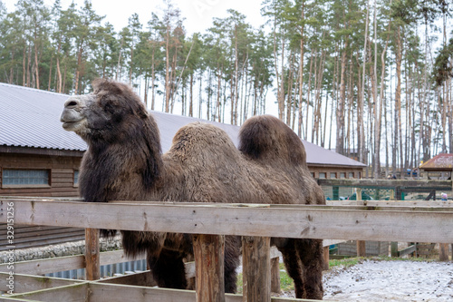 Photo Large two-humped brown camel in the corral in winter