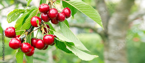 Fototapeta Cherries hanging on a cherry tree branch.