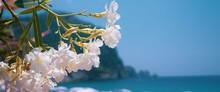White Oleander In Antalya.