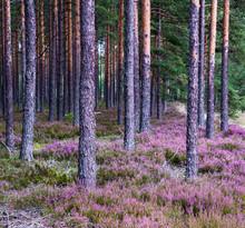 Purple Flower Eurasian Heath, ...