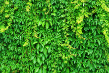 Creeper Vine. Hedge Texture, Tree Ivy, Green Nature Background. Wild Vine Leaves On Wall