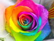 canvas print picture - Rainbow rose