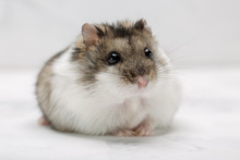 Hamster On The Grey Background