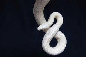 Teksaška zmija pacova (Elaphe obsoleta lindheimeri) podvrsta je zmije štakora, neevonomni kolubrid pronađen u Sjedinjenim Državama, prvenstveno unutar države Teksas.