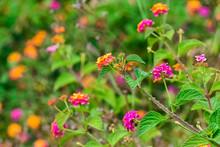 Small Lantana Flowers Grouped ...