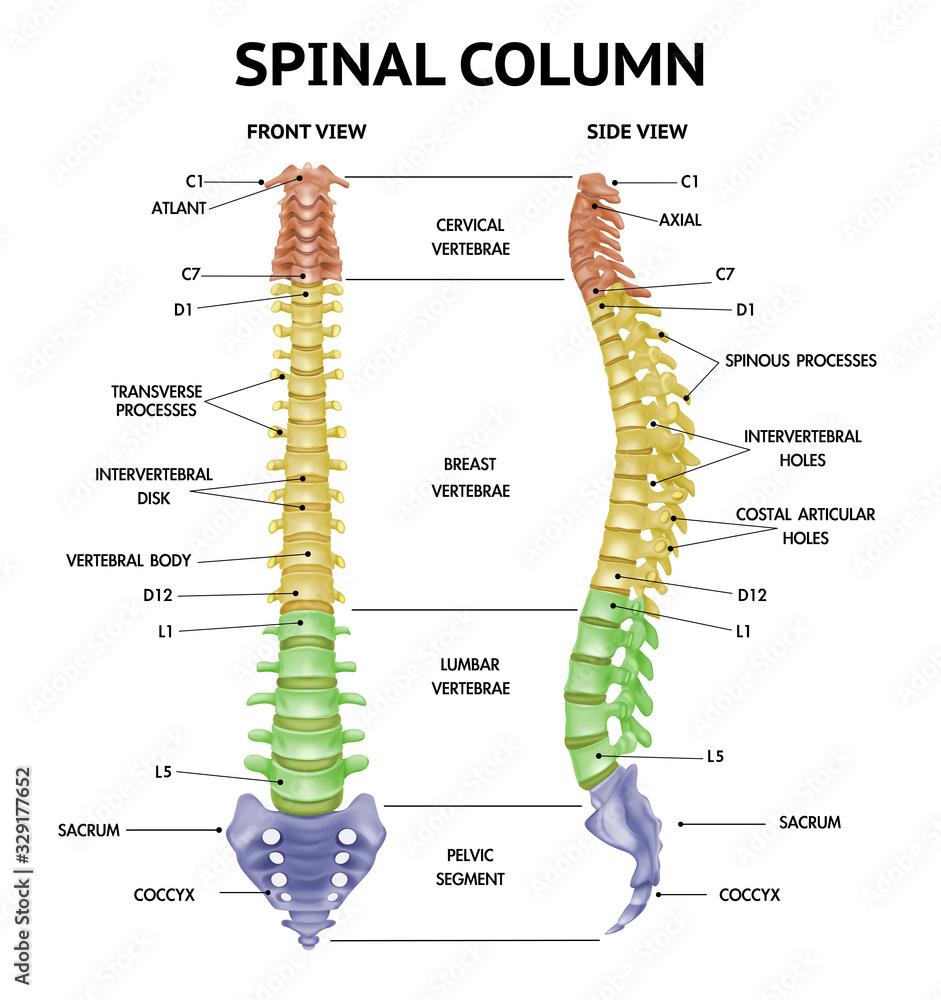 Fototapeta Spine Anatomy Realistic Chart