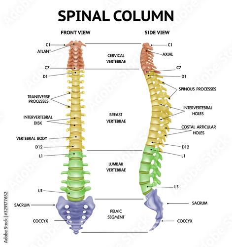 Obraz Spine Anatomy Realistic Chart  - fototapety do salonu