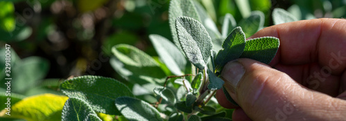close-up, Common Sage (Salvia officinalis) aromatic herb and spice. Hand pick up salvia plant #329180047