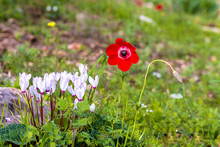Red Anemone In Spring Meadow N...