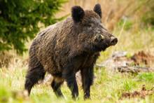Dominant Wild Boar, Sus Scrofa...
