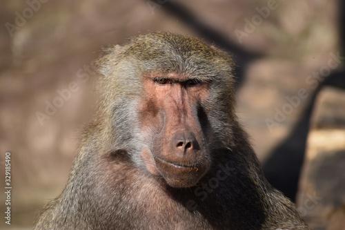 baboon large monkeys hunters Canvas Print