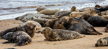 Wild Grey Seal Colony On The Beach At Horsey UK. Group With Various Shapes And Sizes Of Gray Seal.