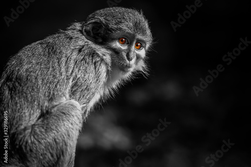 Vászonkép Monkey (Miopithecus ogouensis)
