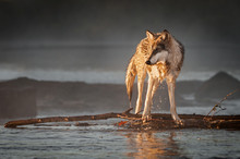 Backlit Grey Wolf (Canis Lupus...