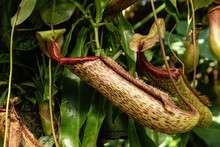 Carnivorous Pitcher Plant Nepe...
