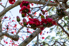 Red Silk Cotton Tree Flowers Bombax Ceiba