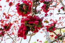 Red Silk Cotton Tree Flowers Bombax Ceiba