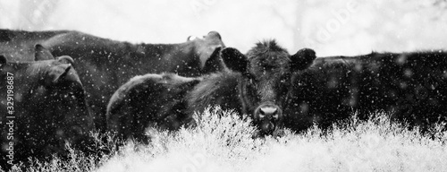 Black Angus calves in snow close up. Canvas Print