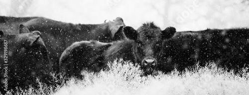 Fotografie, Obraz Black Angus calves in snow close up.