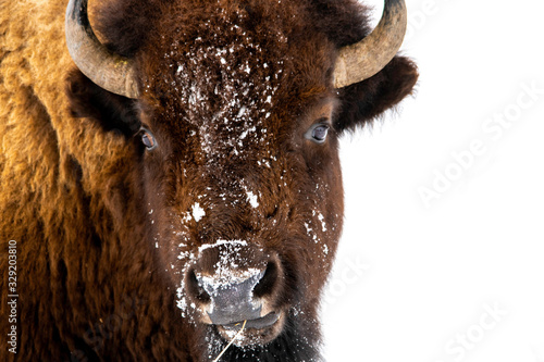 bison isolated on white background Canvas-taulu