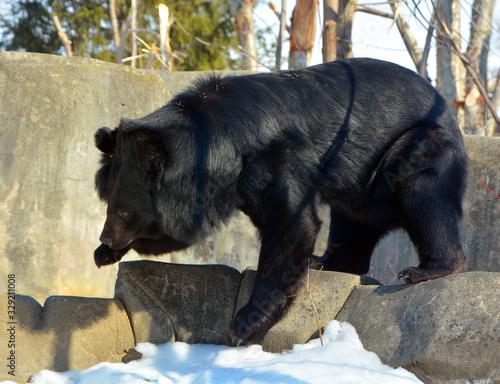 Asian black bear (Ursus thibetanus or Selenarctos thibetanus), also moon or whit Canvas Print