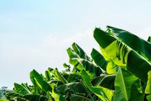 Banana Garden Is Growing Up,Fr...