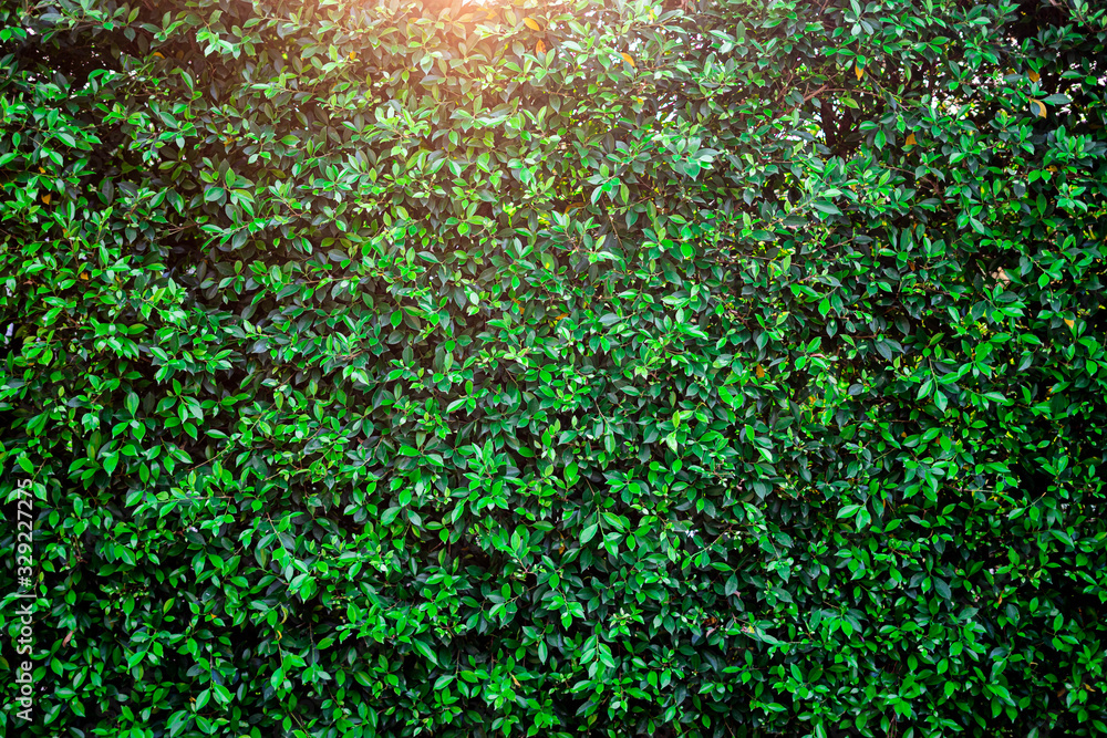 Fototapeta  background of a garden bush or hedge with sunset light shining through the top side, plant and leaf wallpaper for overlay texture or decoration, representing nature, outdoor and playful environment