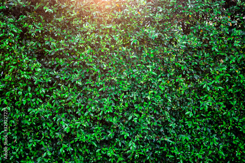 Fotografía background of a garden bush or hedge with sunset light shining through the top