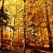 Close up of Autumn colored beech trees in the sunlight
