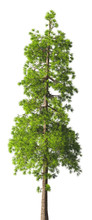 Evergreen Tall Coniferous Pine Tree On A White Insulating Background On High Resolution. 3D Stock Illustration.