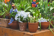 Different Tulips In Pots On Th...